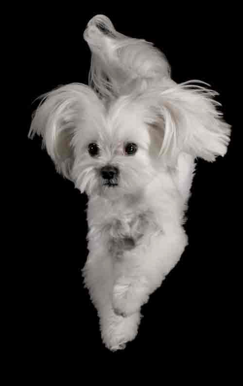 Jiggy, a Maltese dog, jumping